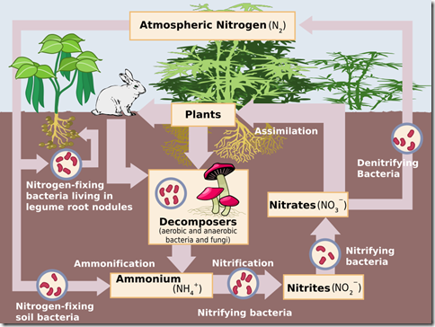 Nitrogen_Cycle.svg
